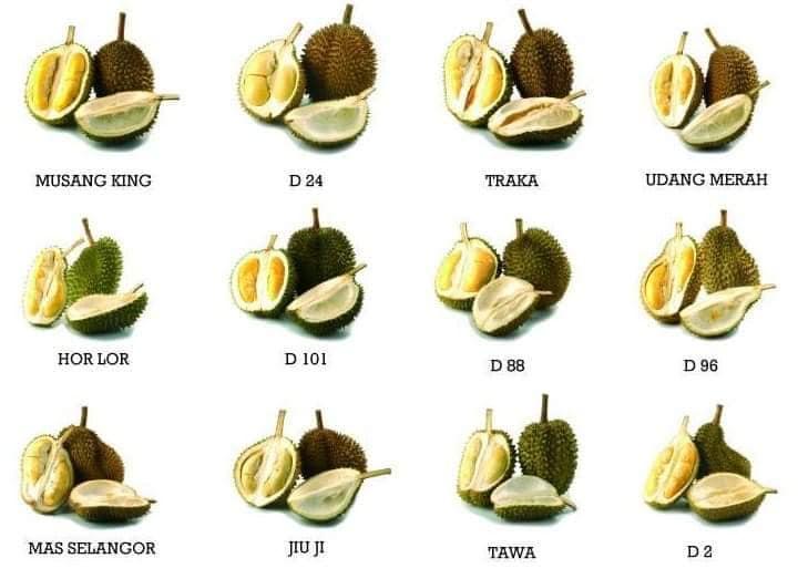 Ada 200 Jenis Durian Di Malaysia Durian Mana Yang Dah Pernah Rasa Libur